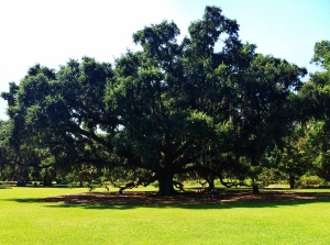 Some of the trees in Charleston are up to 1400 years old